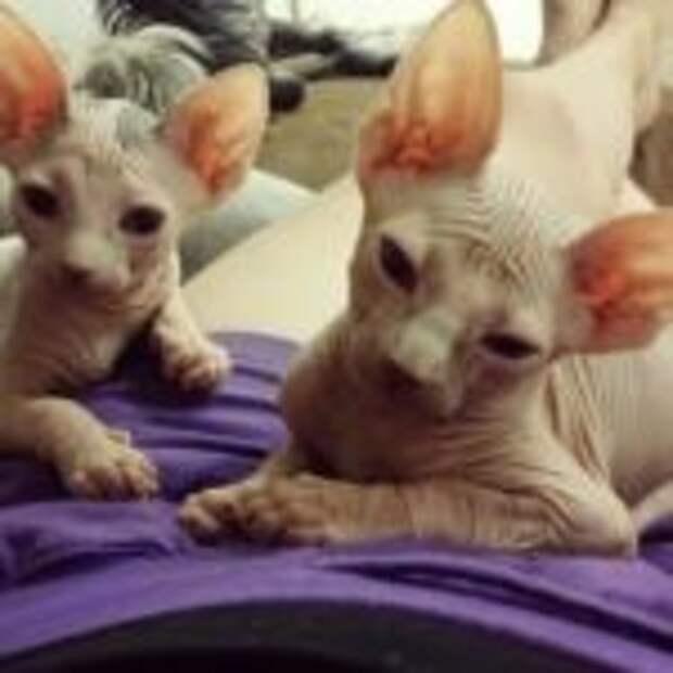 Голые кошки — тайные агенты космических цивилизаций