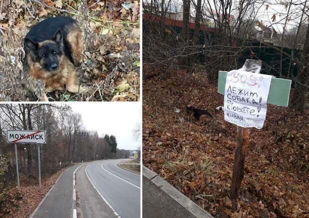 Волонтёры приехали спасать сбитую немецкую овчарку животные, история, факты