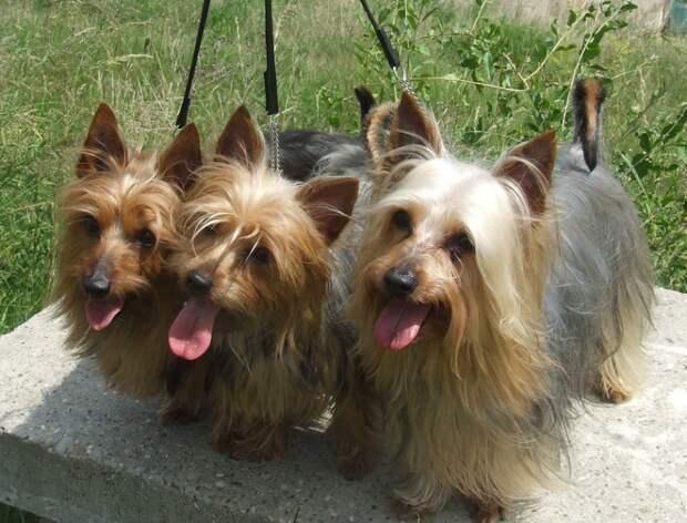 Самые маленькие породы собак.