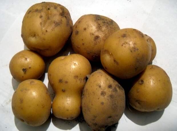 Чтобы урожай радовал, картофелю нужна влага