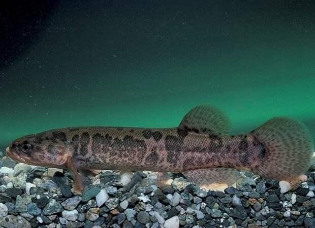 Две самые необычные рыбы России