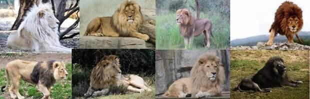Редкие животные из красной книги. Африканский лев