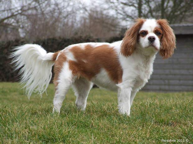 самые маленькие породы собак: Кинг Чарльз спаниель. фото