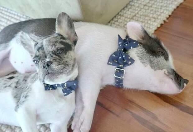 История о поросенке, который стал названым братом щенку бульдога