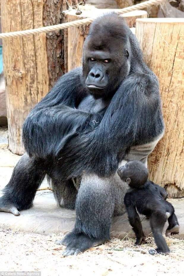 В чешском зоопарке живёт горилла с модельными замашками горилла, животные, забавно, звери, зоопарк, обезьяны, природа, фотогеничность