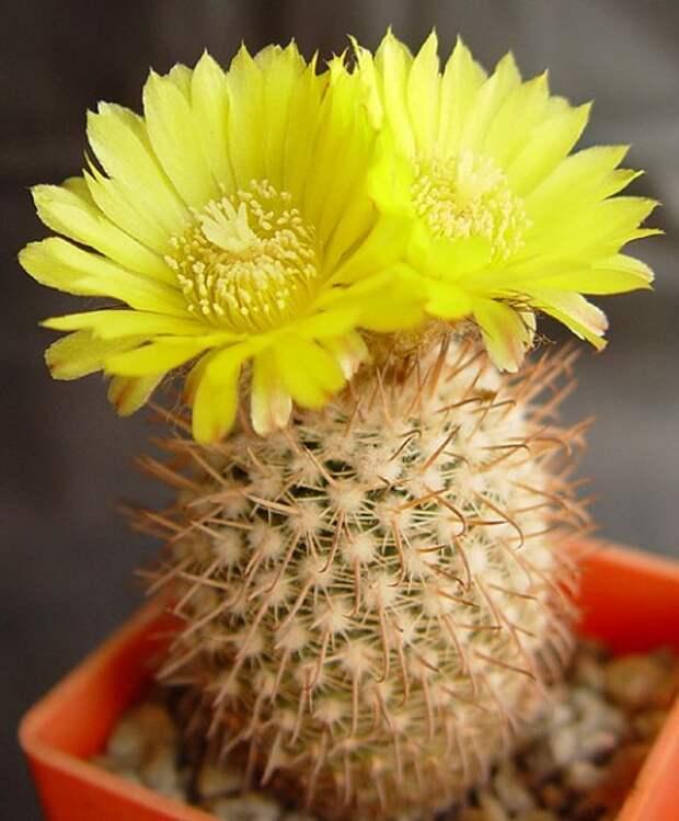 Какие есть виды цветущих кактусов?