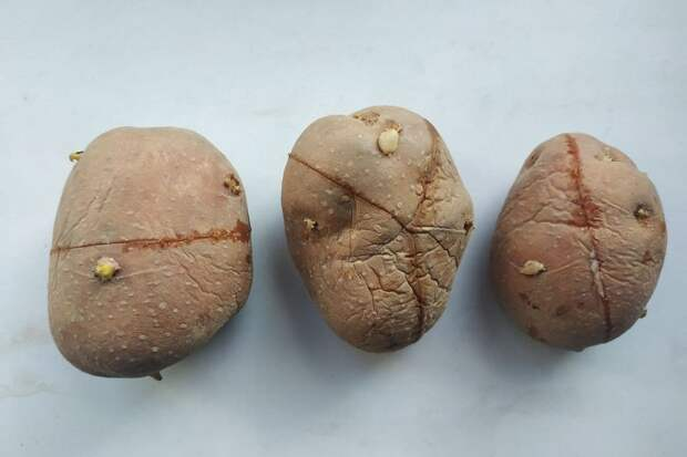 Как подготовить картофель к посадке и зачем нужна кербовка