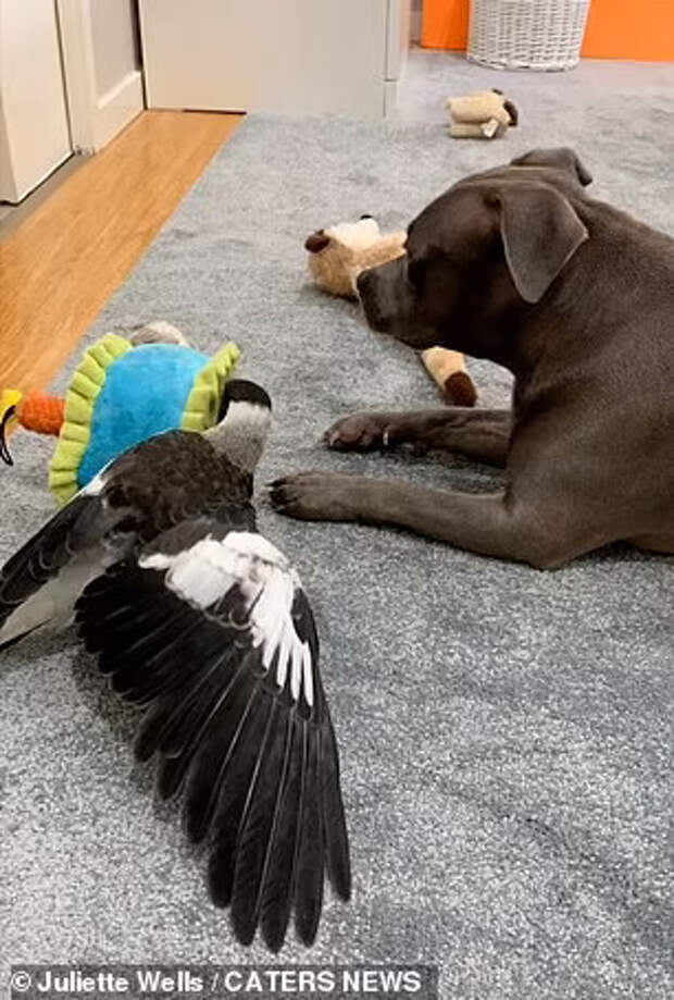 Сорока стала лучшим другом для собаки