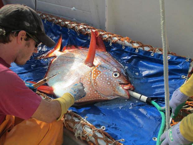 Ученые обнаружили первую в мире теплокровную рыбу животные, мир, опах, открытие, рыба