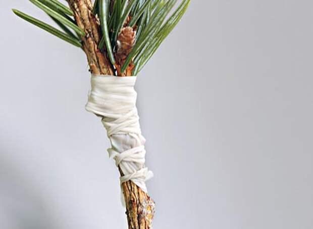 Прививка хвойных растений, как привить хвойные растения вприклад, обмотка места прививки