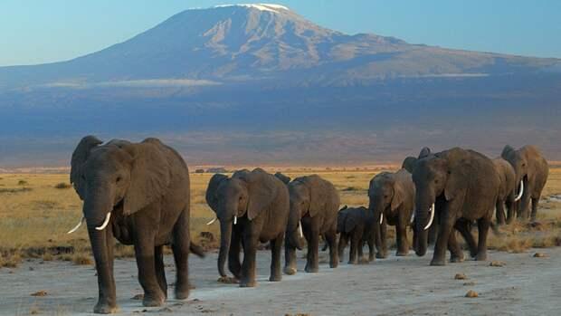 Власти Зимбабве оправдали пандемией разрешение охоты на редких слонов