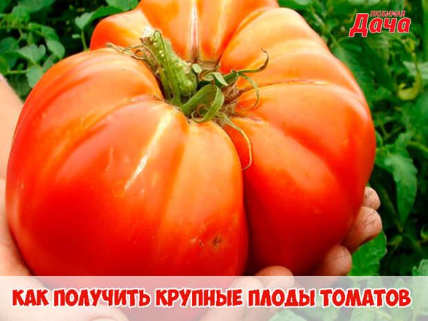 Как получить крупные плоды томатов. 🍅