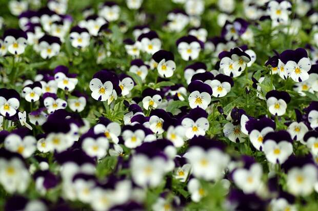 Цветы, Анютины Глазки, Завод, Пурпурный, Фиолетовый