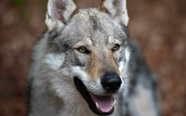 Охотники ищут в Подмосковье сбежавшего от хозяина метиса собаки и волка