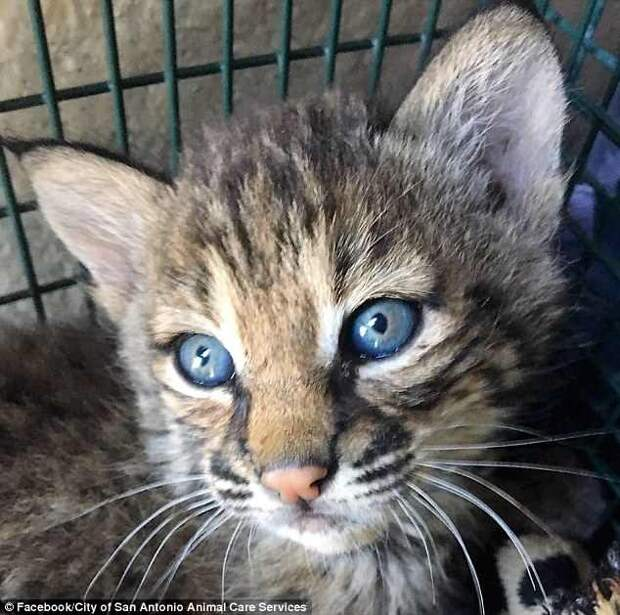 Рысят приняли за домашних котят и ошибку поняли лишь когда те начали кусаться и рычать