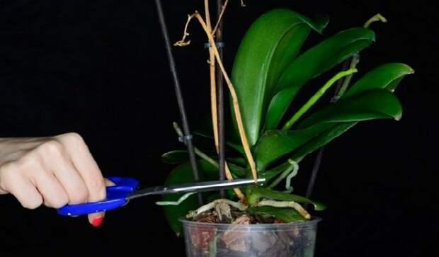 Что делать, если не цветет орхидея? Супер-простой способ который заставит ее быстро цвести