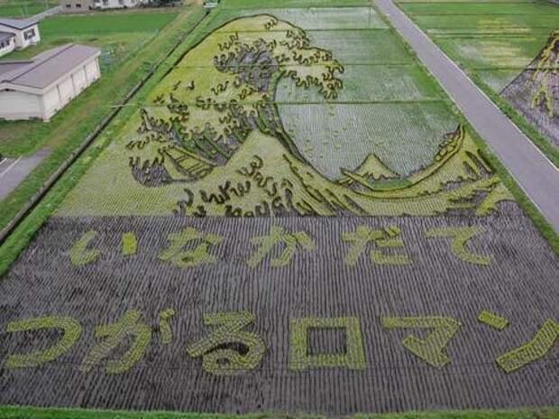 Японские фермеры выращивают особые сорта риса для создания красочных рисунков на полях