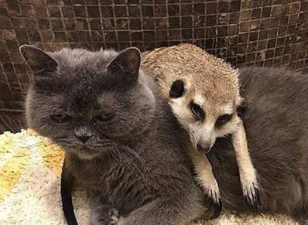 Такие разные и такие милые: сурикат и кот подружились и теперь неразлучны