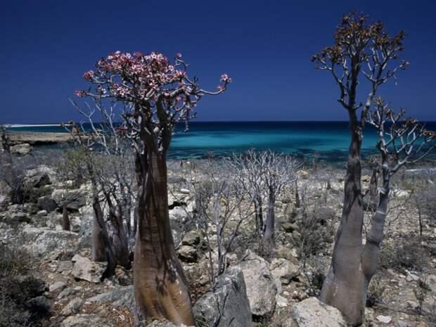 Адениум сокотранский, он же бутылочное дерево