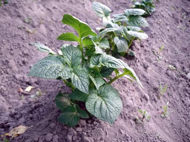 Хитрости окучивания картофеля, о которых знают единицы