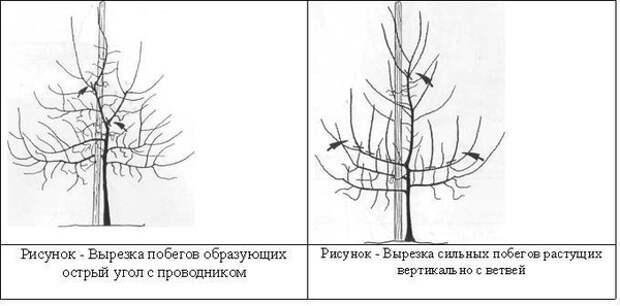 формирование кроны груши
