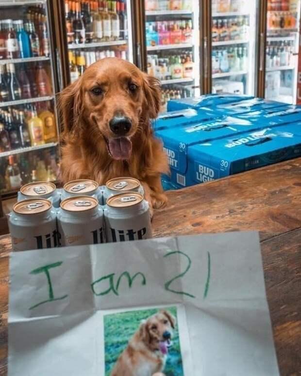 Я совершеннолетний! друзья человека, животные, мило, очаровательно, собаки, собачья жизнь, фото, фотографии