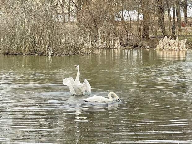 Белых лебедей вернули в сквер по Олонецкому проезду