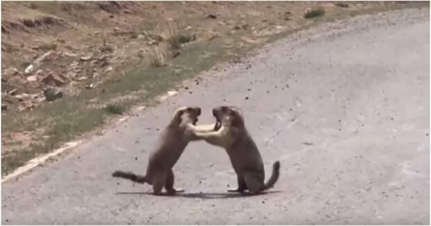 В Китае сняли кулачный бой сурков из-за самки видео, драка, животные, китай, прикол, самец, самка, самцы, сурки, сурок