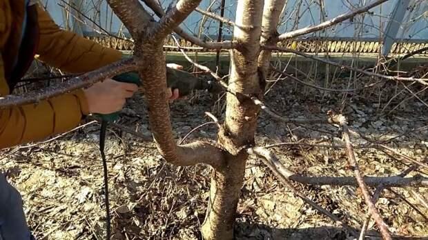 Привой дрелью: Популярный метод от дачников-садоводов