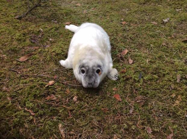 Под Санкт-Петербургом спасли заблудившегося в лесу тюлененка