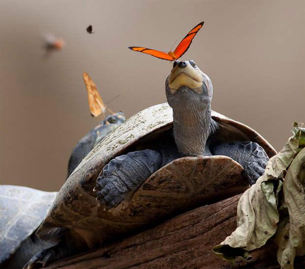 Оказывается, бабочки пьют слезы черепах. 6 безумно милых фото