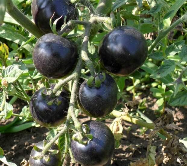 Черничный томат