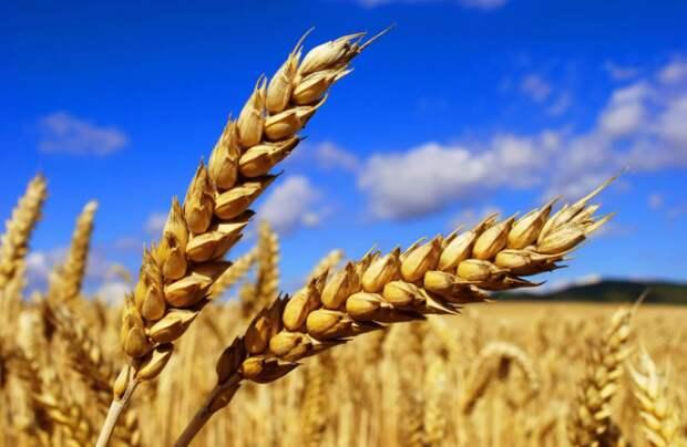 РФ к 25 марта увеличила экспорт пшеницы на 24,2%, до 33,6 млн тонн - Минсельхоз