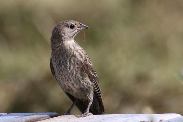 Как некоторые расчетливые птицы выращивают свое потомство в чужих гнездах