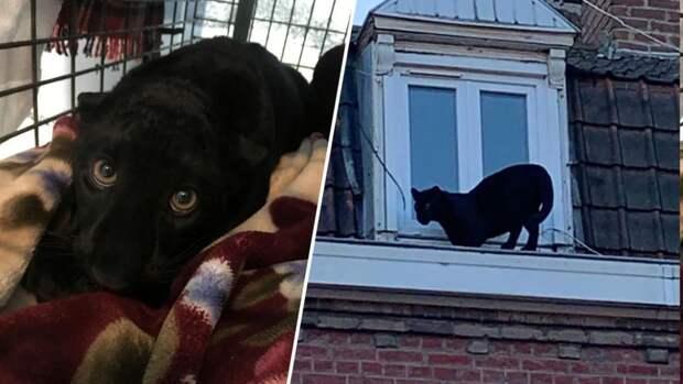 По крышам домов спокойно разгуливает черная пантера