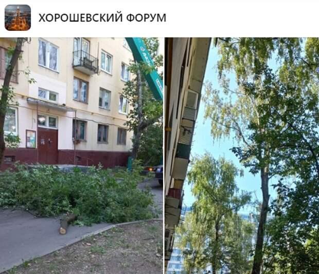 Берёзу на Хорошевском шоссе срубили для реконструкции газопровода – управа