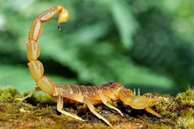 Скорпион (источник http://funzoo.ru/uploads/posts/2011-07/1310295147_hvosty003.jpg)