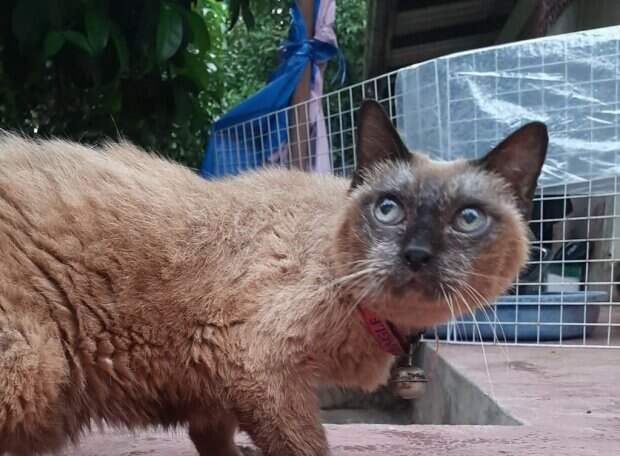 Тайская кошка оказалась самой старой на планете