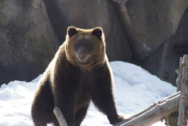 Медведи в зоопарке Ижевска впали в спячку
