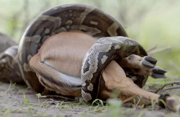 Иероглифовый питон: Анаконда по-африкански. Гигантские змеи питаются крокодилами и антилопами