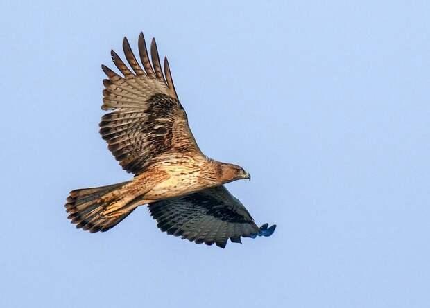 Переселение взрослых особей оказалось лучшим способом вернуть орлов на Мальорку