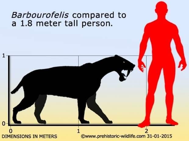 Барбурофелис Палеонтология, Млекопитающие, Северная Америка, Длиннопост
