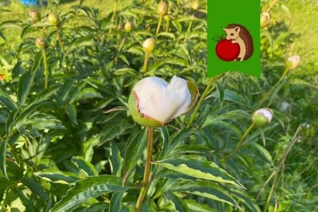 Чем подкормить пионы для долгого цветения