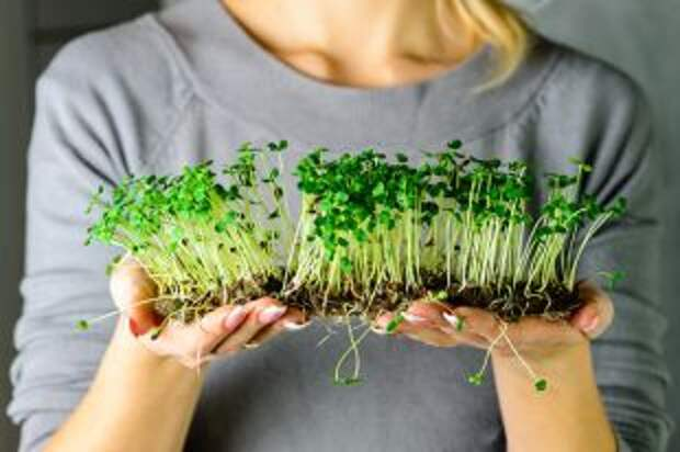 Что такое микрозелень?
