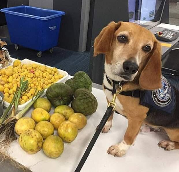 Служебній пес