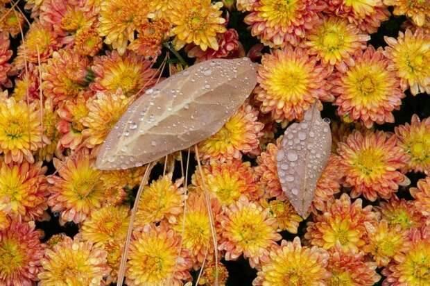 влагозарядный полив хризантем
