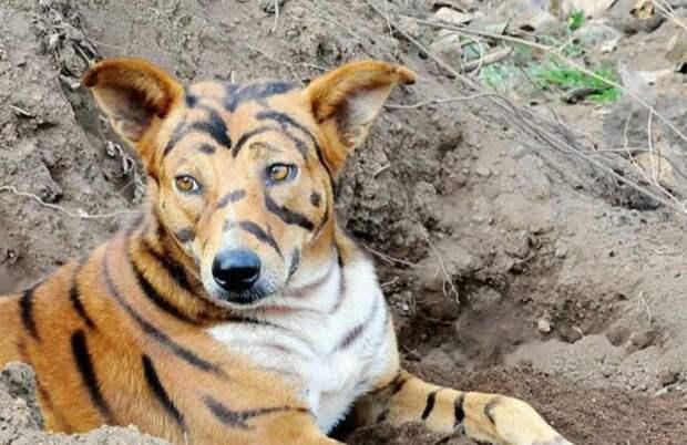 Фермер покрасил собаку «под тигра» для отпугивания обезьян