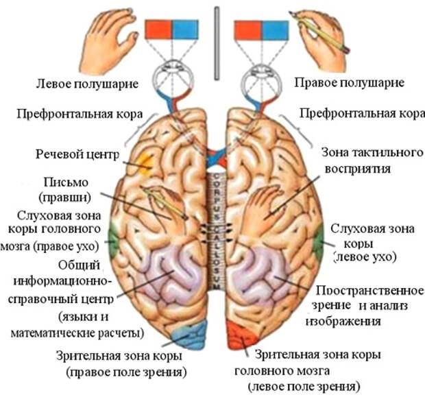 ЗДРАВОТДЕЛ. Как развивать оба полушария мозга