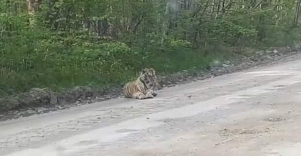 Общительного тигренка подобрали зоологи в Приморье