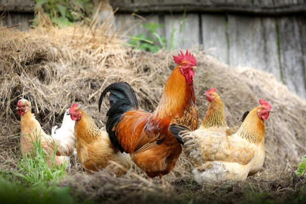 Только без кур: на дачах запретили разводить птиц и поросят
